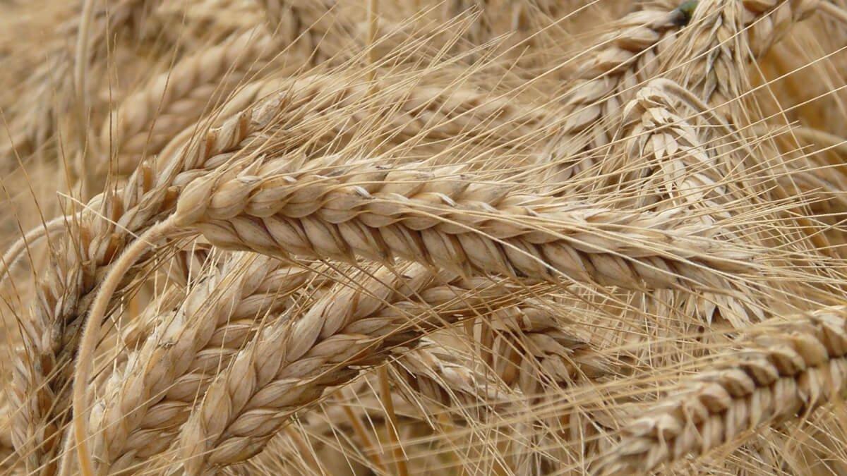 Buğday Nedir? Buğday Çeşitleri, Bölümleri ve Kullanım Alanları