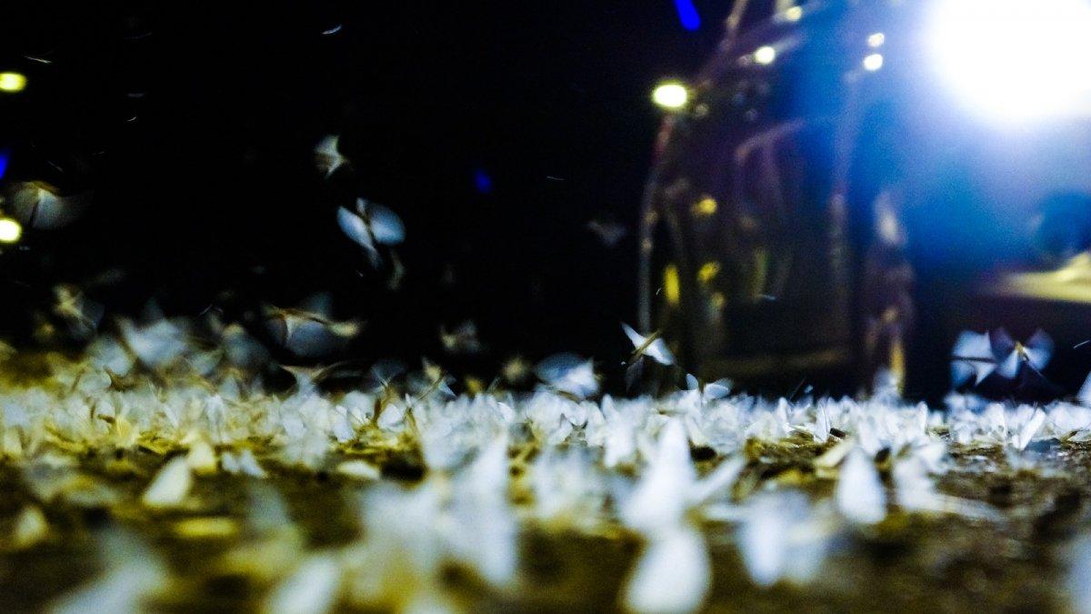 Ardahan'da kelebeklerin 'ölüm uçuşu'