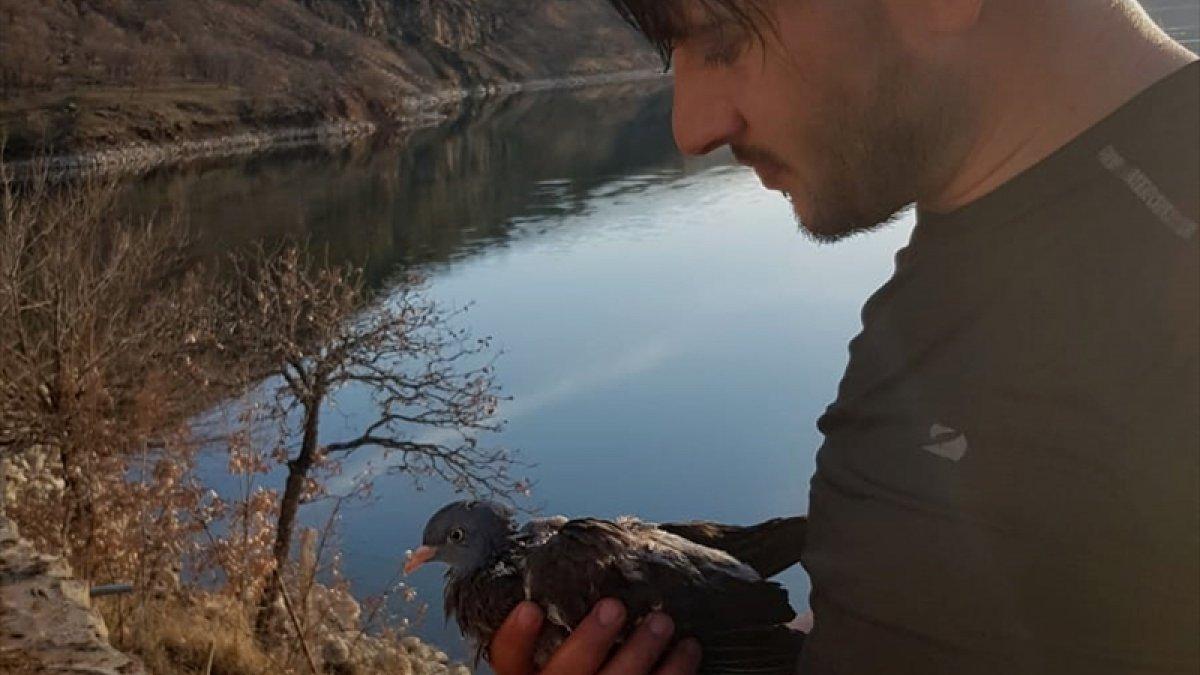 Atmacanın saldırısı sonucu baraj gölüne düşen güvercini köy muhtarı kurtardı