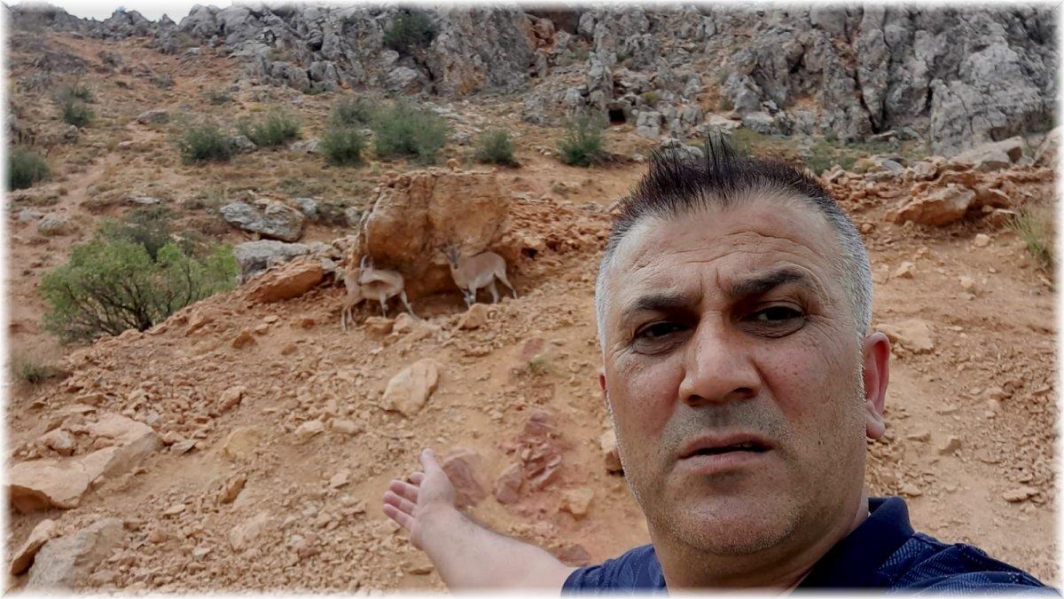 Dağ keçileri karayoluna indi, vatandaşlar cep telefonlarına sarıldı