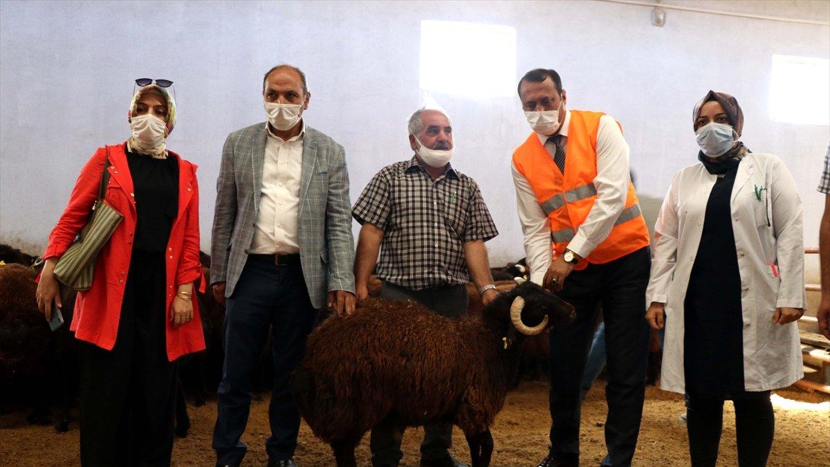 Elazığ'da üreticilere devlet desteğiyle 500 koç dağıtıldı