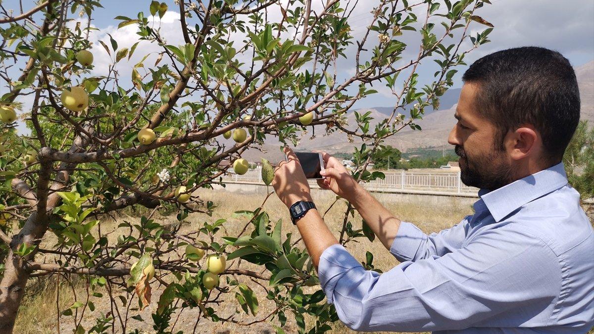Erzincan'da elma ağacı eylülde çiçek açtı