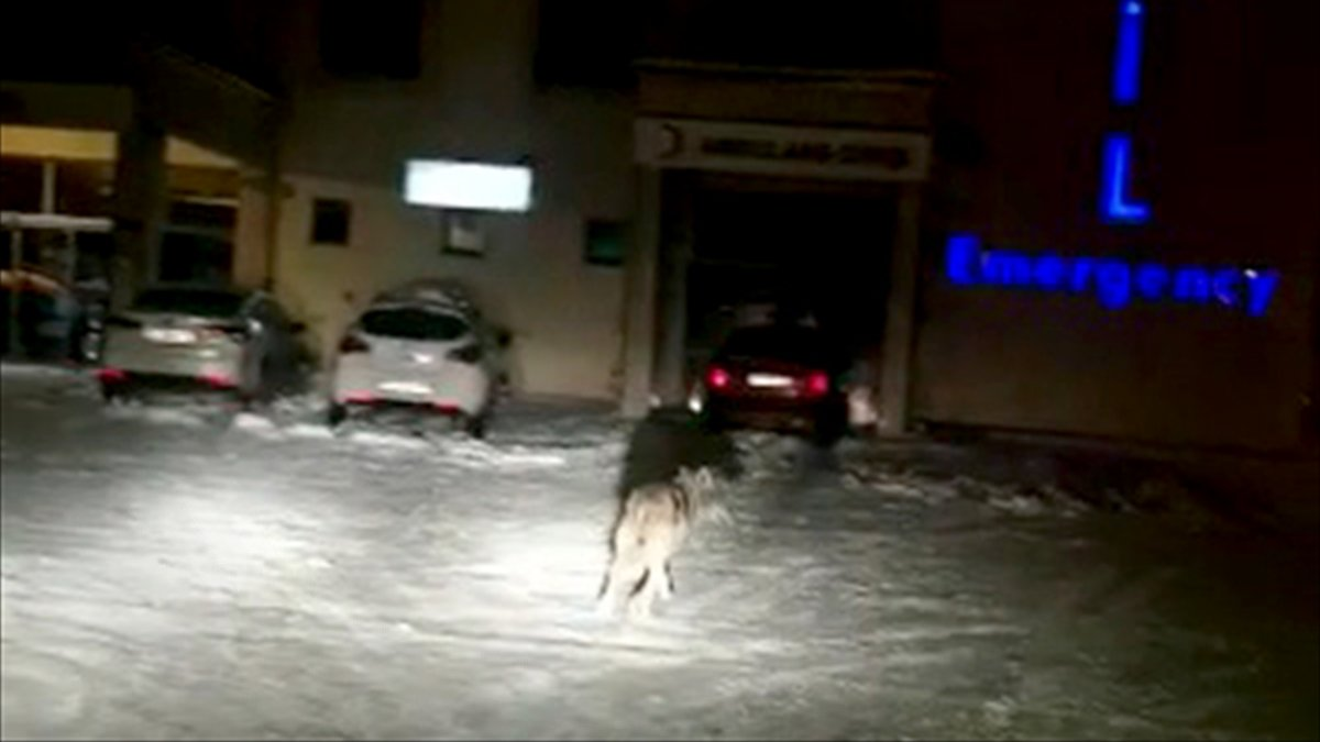 Kars'ta kar yağışı ve soğuk hava yüzünden aç kalan kurt ilçe merkezine indi