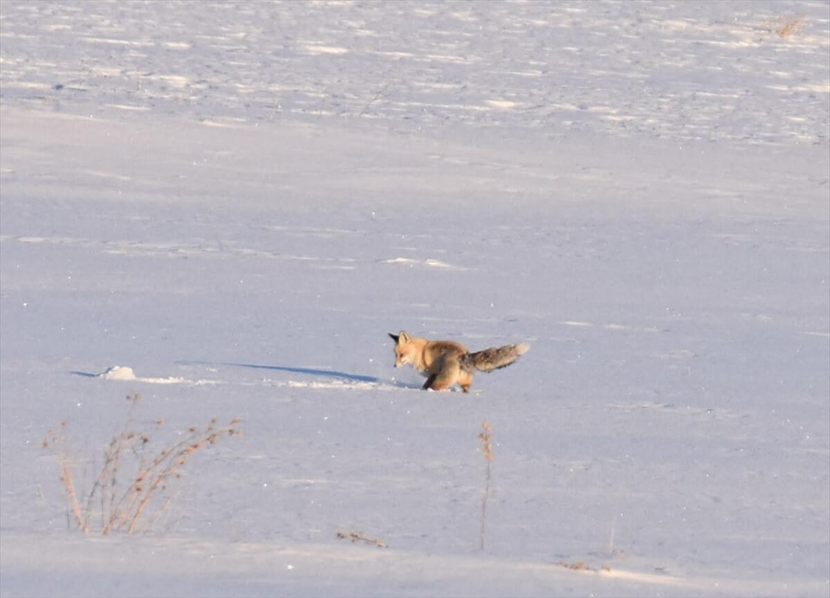 Kızıl tilkiler Kars'ta karla kaplı arazide avlanıyor