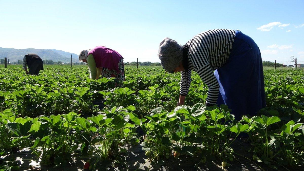 Muş'ta devlet desteğiyle kurulan çilek bahçeleri gelir kapısı oldu