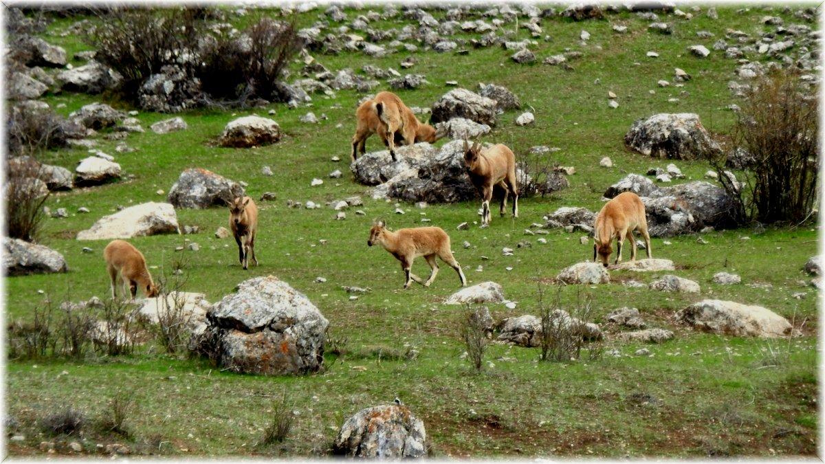 (Özel) Terörden temizlenen Munzur Dağlarına yaban keçileri güzellik katıyor