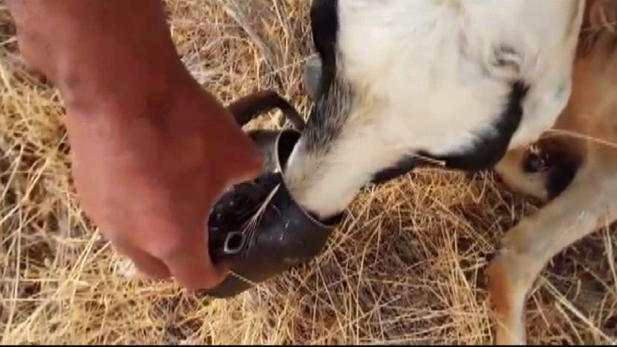 Sıcaktan baygınlık geçiren koyuna, çobandan demlikle can suyu
