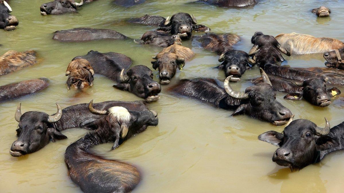 Sıcaktan bunalan mandalar nehirde serinliyor - Erzincan Haberleri