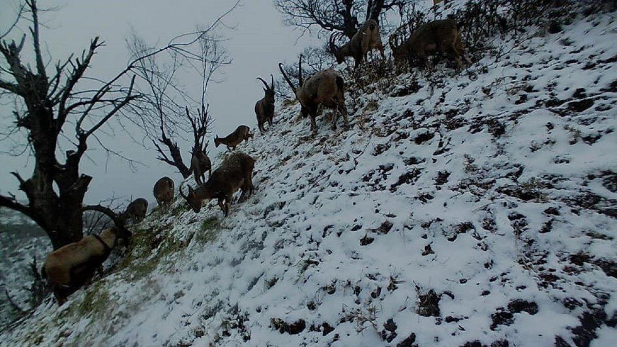Tunceli'de yaban keçileri sürü halinde foto kapanla görüntülendi