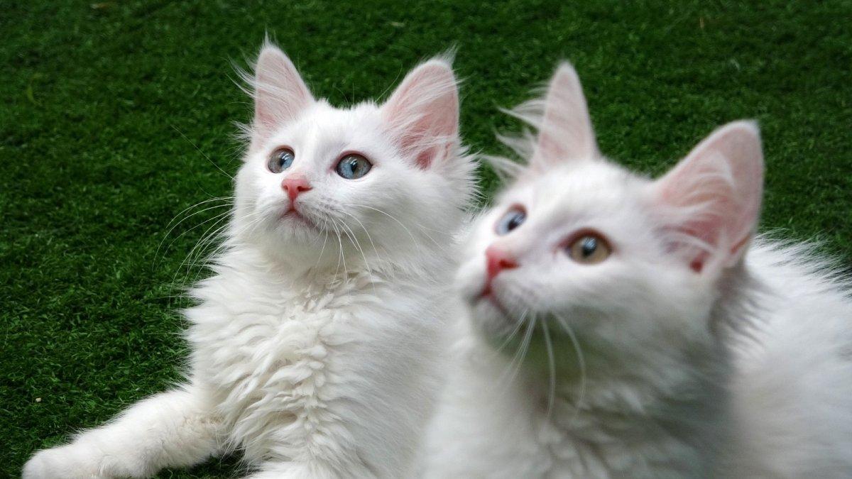 Yavru Van kedilerine sakinleştirici fon müziği terapisi - Van Haberleri
