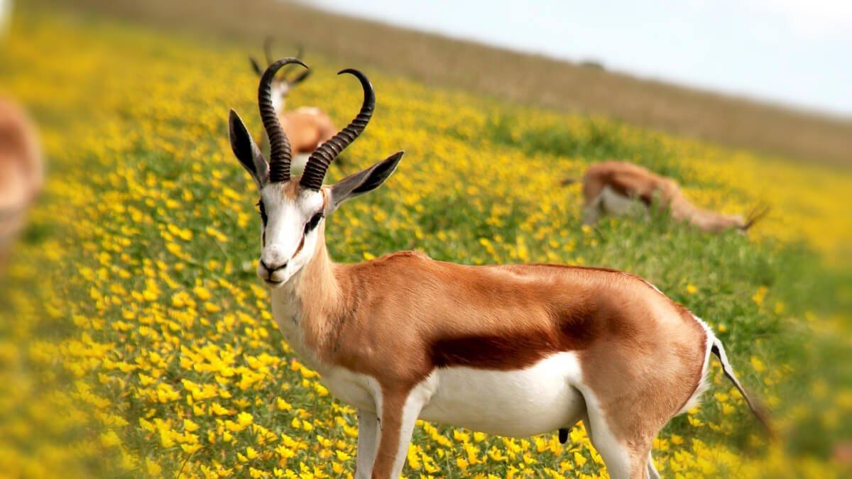 Rüyada Antilop Görmek