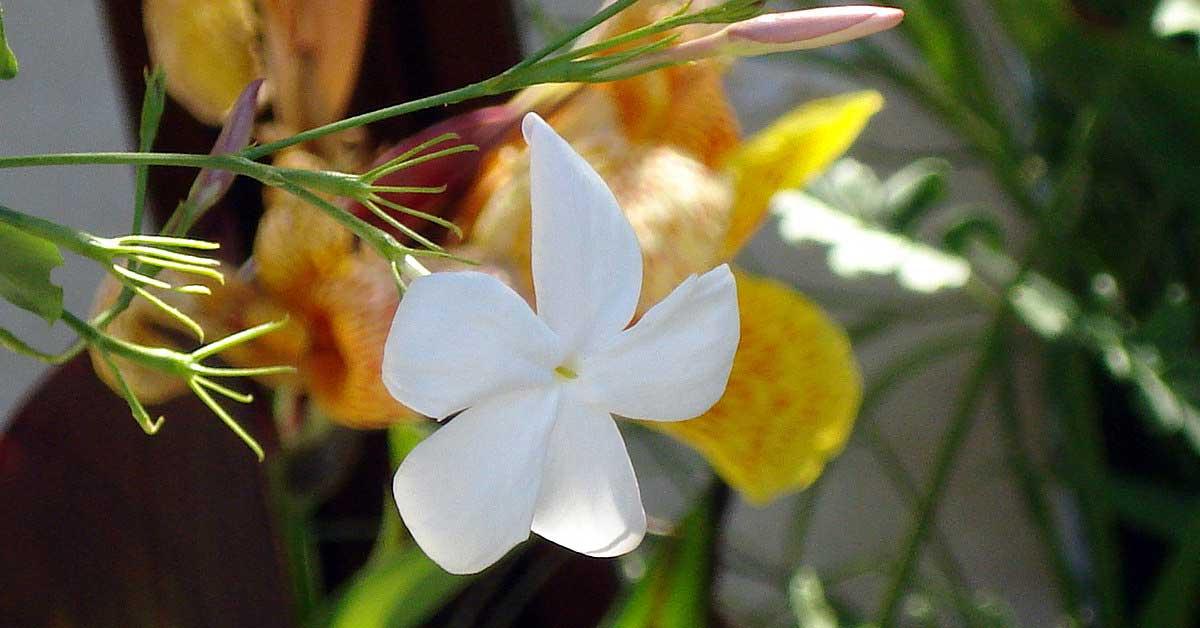 Rüyada yasemin çiçeği görmek ne anlama gelir