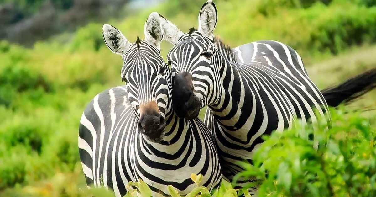 Rüyada zebra öldürmek ne anlama gelir?