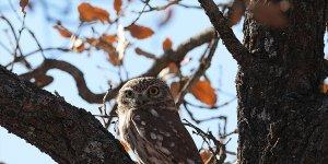 Bingöl'de Athena türü baykuş fotoğrafçıların ilgi odağı oldu