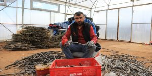 Bingöl'de üretilen ceviz ve badem fidanları, 8 ilde toprakla buluşturulacak