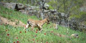 Yaban keçileri yeşile bürünen Munzur Vadisi Milli Parkı'na güzellik katıyor