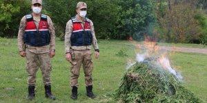 Ardahan'da kendiliğinden yetişen 10 bin 400 kök kenevir bitkisi imha edildi