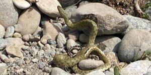 Civciv hırsızı yılan suçüstü yakalandı