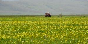 Yağışlar sonrası Ardahan ovası canlandı