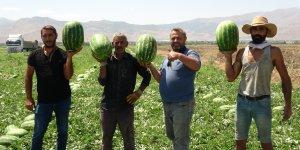 Muş'ta yılın ilk karpuz hasadına başlandı
