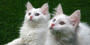 Yavru Van kedilerine sakinleştirici fon müziği terapisi