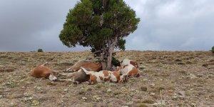 Yıldırım ağaca isabet etti: 9 inek telef oldu
