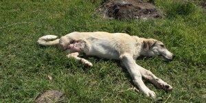 Van'da belediye çalışanları sahiplendikleri 'Garip' isimli köpeğin tedavisini ve aşısını yaptırdı