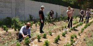 Erciş'te 250 bin üzüm fidanı toprakla buluşacak