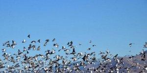 Muş'ta binlerce kuş hasadı yapılan tahıl yığınlarını mesken tuttu