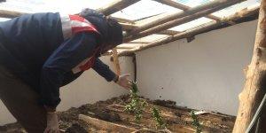 Erzincan'da evinin çatısında esrar yetiştiren 1 kişi tutuklandı