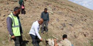 Ağrı'da dağlık alanda mahsur kalan yaralı ineğe ekipler kepçeyle yol açarak ulaştı