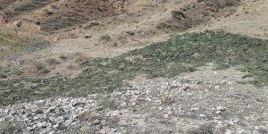 Bingöl'de kırsalda kurumaya bırakılmış 289 kilo kubar esrar ele geçirildi
