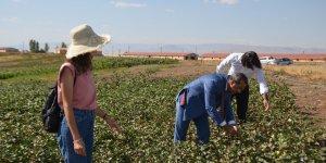 Muş Ovası'nda pamuk üretimi