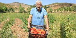 Bir avuç ata tohumuyla asırlık domates 'Guldar'ı yeniden yeşertti