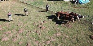 Erzincan'da kaybolan büyükbaş hayvanlar drone yardımıyla bulundu