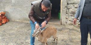 Hakkari'de bitkin halde bulunan dağ keçisi tedavi için Van'a gönderildi