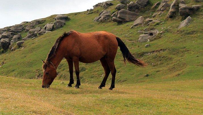kırmızı at