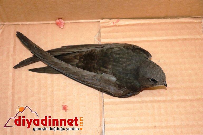 giren eve kuşunun misafirliği Ağrı'da günlük sevindirdi çocukları bir ebabil 2