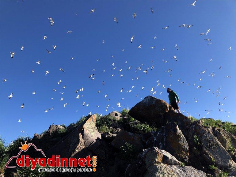 oldu Anadolu'daki - yuvası Balık Gölü IĞDIR Doğu martıların 5