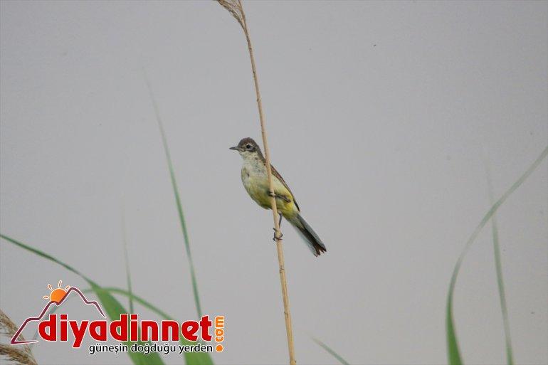 Doğu'nun Iğdır IĞDIR - cenneti: kuş 28