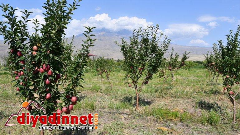 AĞRI tonlarca yetiştiriyor esnaf araziyi meyve Çorak - dönüştüren bahçeye 5