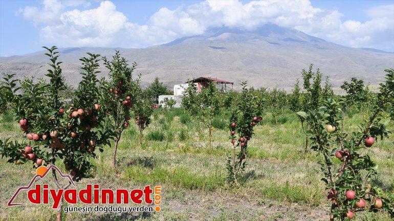 - Çorak esnaf yetiştiriyor bahçeye AĞRI dönüştüren meyve tonlarca araziyi 10