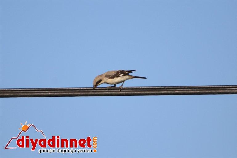 göç cennetinde Doğu'nun başladı kuş hazırlığı 15