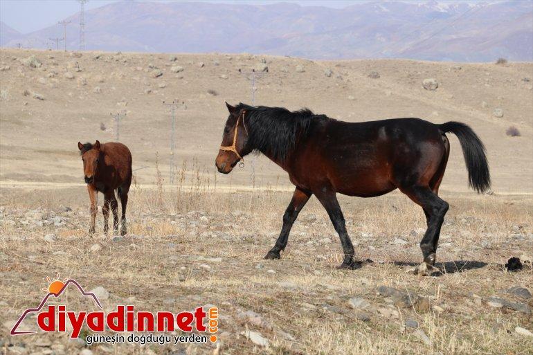 Ağrı'da doğaya katıyor sonbaharda renk otlayan dağlarda atlar 2