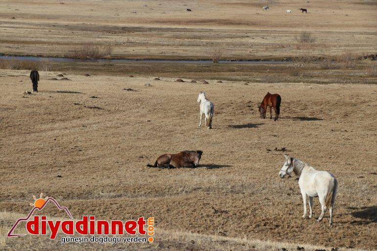atlar Ağrı'da katıyor renk dağlarda sonbaharda otlayan doğaya 16