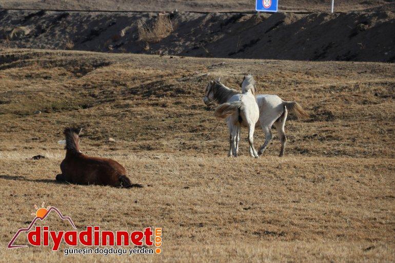 atlar doğaya sonbaharda katıyor dağlarda renk otlayan Ağrı'da 6