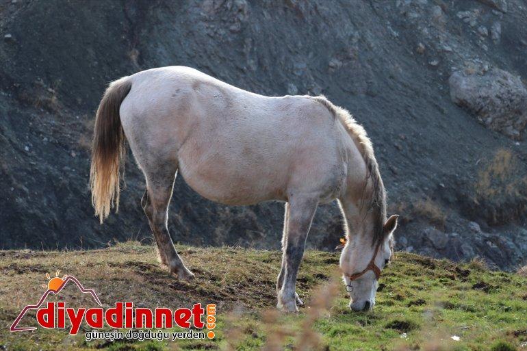 Ağrı'da atlar doğaya sonbaharda renk dağlarda katıyor otlayan 7