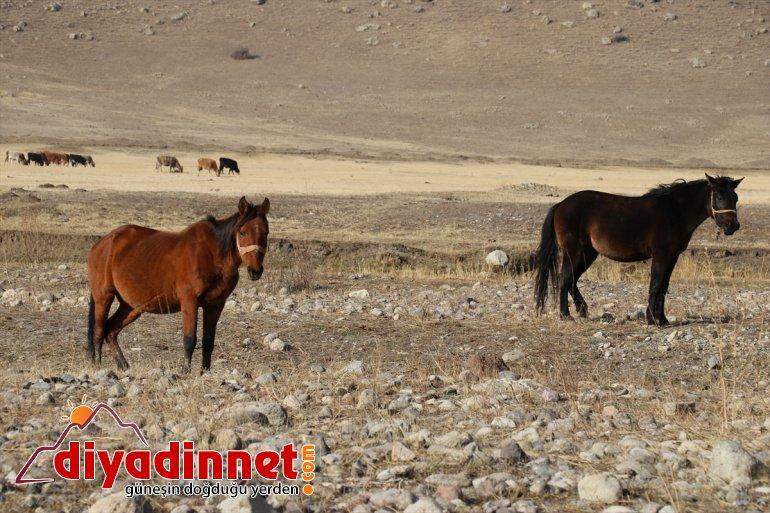 katıyor atlar otlayan doğaya Ağrı'da dağlarda renk sonbaharda 8