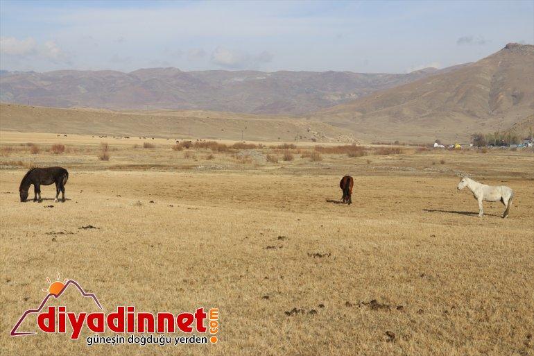 Ağrı'da katıyor otlayan atlar renk dağlarda sonbaharda doğaya 9