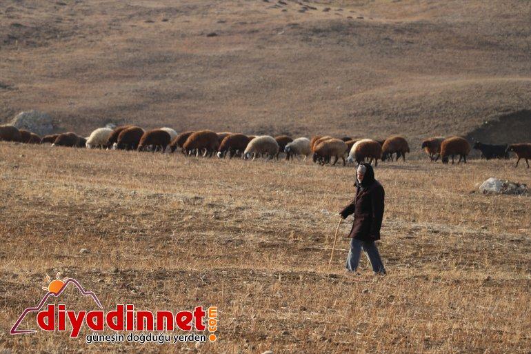 Yılın yarısını koyunlarıyla kırsalda yalnız geçiriyor3